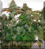 Barneys Farm 8 Ball Kush Fem 5 Marijuana Seeds